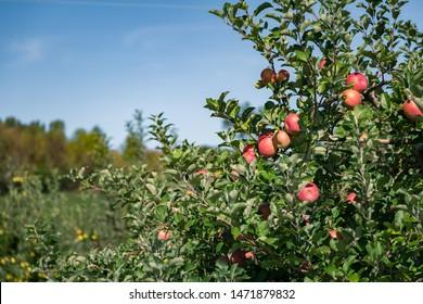 Apple Orchards of North Wilkesboro, North Carolina.