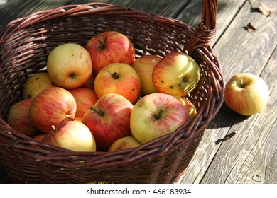 Apple picking in the natural garden
