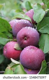 Apple Picking on a Vermont Farm