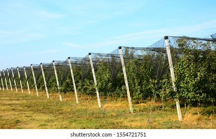 Apple plantation fruit production.Agricultural apple production