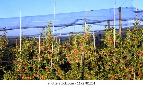 Apple plantation, orchard with anti hail net for protection, pan shot from side, read apples on tree in sunrise, fruit production, plant protection business
