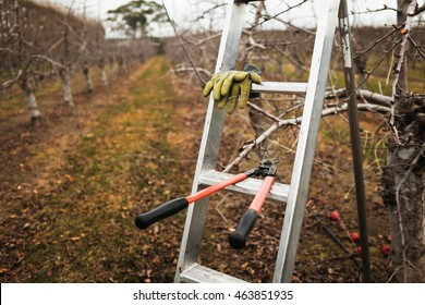 Apple pruning. Pruning apple trees New Zealand. Winter pruning. Cutting branches on apple trees.