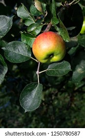 An apple ripening on an apple tree branch