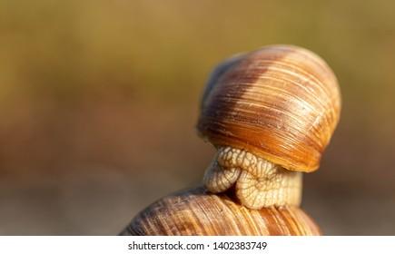 apple snail child on mother ducks head into snail shell