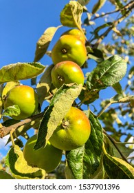 Apple is a sweet, edible fruit produced by an apple tree (Malus pumila). Apple trees are cultivated worldwide, and are the most widely grown species in the genus Malus.