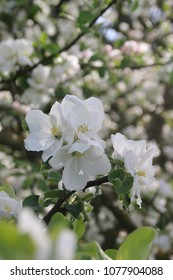 Apple three flower