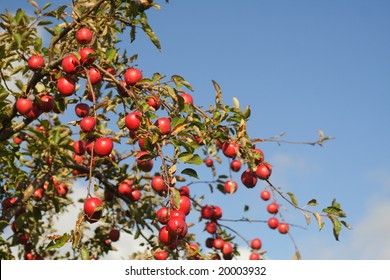 Apple Tree against Blue Sky