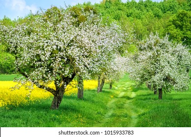 Apple tree alley in white blossom and blooming yellow canola field in spring time garden