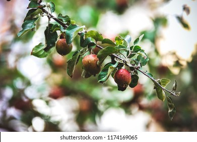 Apple tree with apples in garden