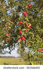 Apple Tree in Autumn. Was seen in the Havelland, Brandenburg (Germany).