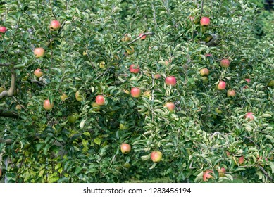 Apple tree and beginning ripe apple, on the branch
