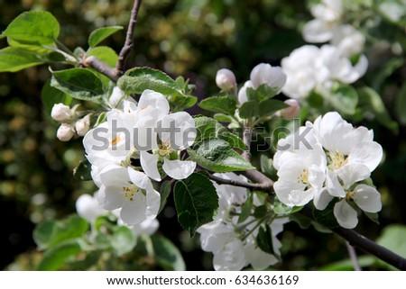Apple tree big white flower photo stock photo edit now 634636169 apple tree with big white flower photo mightylinksfo