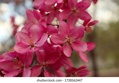 apple tree in bloom. pink floral background. blooming apple tree in spring time