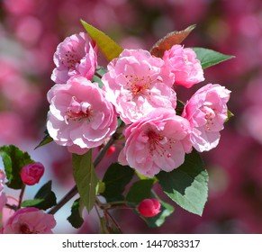 The apple tree blooming is a deciduous tree in the rose family best known for its sweet, pomaceous fruit, the apple. It is cultivated worldwide as a fruit tree,