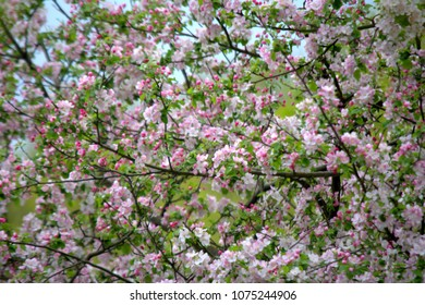 The Apple tree blooms. Spring flowers