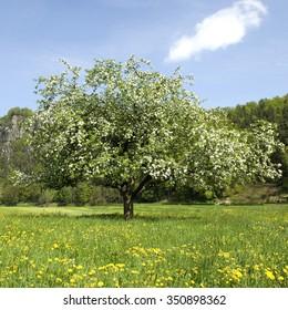 Apple Tree; Apple Blossom
