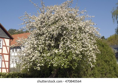 Apple Tree, Blossom