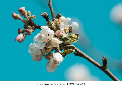 An apple tree blossom, in a beautiful blue sky composition