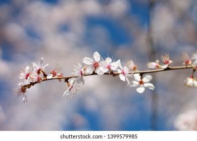 Apple tree in blossom blue sky