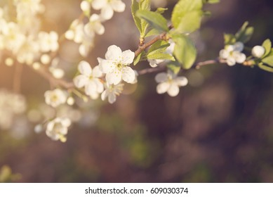 Apple tree blossom closeup, nature, spring