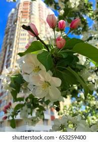 Apple tree blossom (flowers)