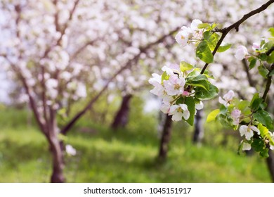 Apple tree blossom in a garden or orchard in spring.