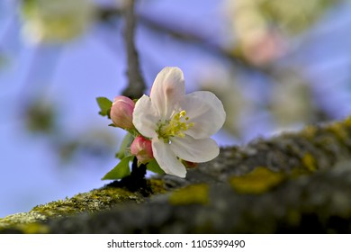 Apple tree blossom (Malus domestica) in spring, Bavaria, Germany