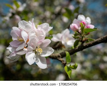 An apple tree blossom in a soft background