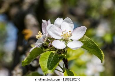apple tree blossom in spring