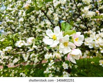 Apple tree blossom in spring. Spring blooming apple blossom. Spring apple blossom bloom. Apple blossom bloom