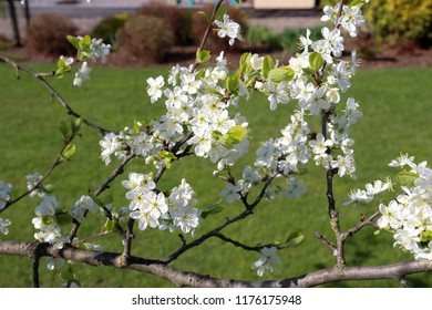Apple tree blossom. Spring. Flowers of the apple blossoms on a spring day