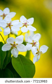 Apple tree blossom, white flowers on a yellow sunlight background