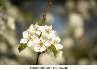 Apple tree blossoming. Typical spring view almost everywhere. Gorgeous blossoming trees and lovely scent.