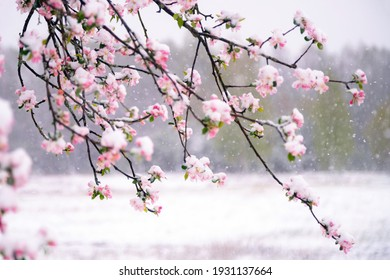 Apple tree blossoms covered in snow during unexpected snowfall in spring. Blooming flowers freezing under white snow in the garden. - Shutterstock ID 1931137664