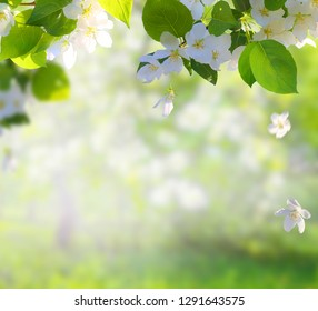 Apple tree blossoms with green leaves Spring flowers . Green nature blurred background.