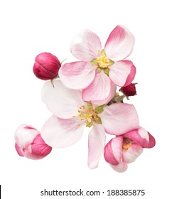 apple tree blossoms. spring flowers isolated on white background