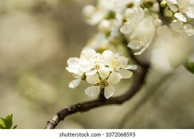 Apple tree branch with blooming flowers on a spring day