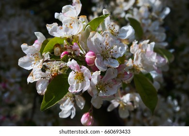 Apple tree branch with blossoms