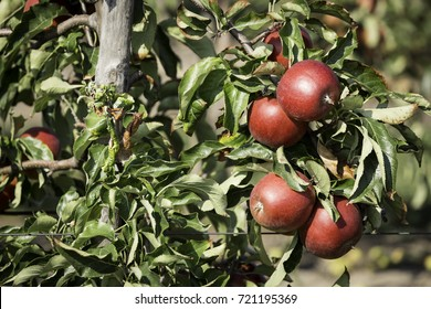 Apple tree branch full of ripe fruits