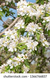 Apple tree branches covered in flowers in spring