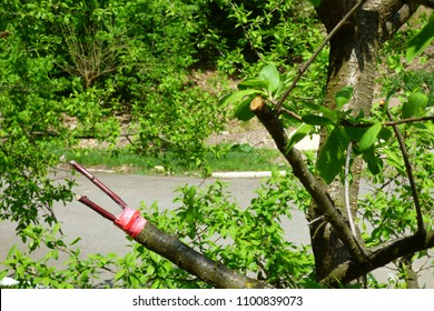 apple tree branches with grafted cuttings
