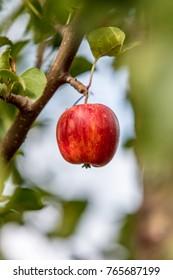 Apple tree, China