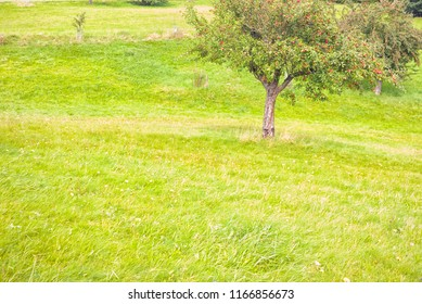 apple tree, with copy-space