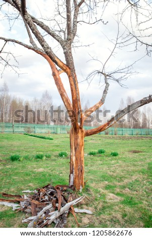 Apple Tree Trunk Diseases Pictures