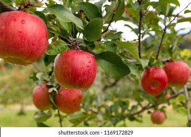 Apple tree in the farm