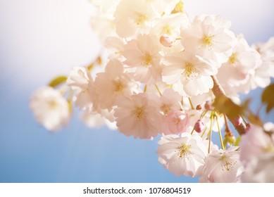 Apple tree flower blossoming at spring time, floral sunny vintage natural background