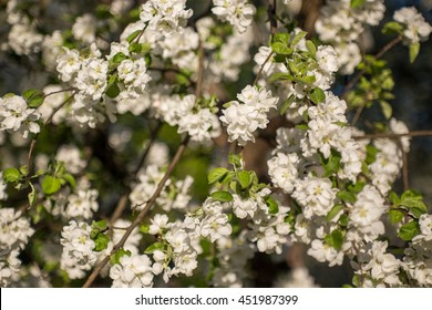 Apple tree flower blossoming at spring time, floral background
