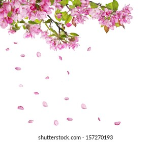 apple tree flower branches and falling petals isolated on white background