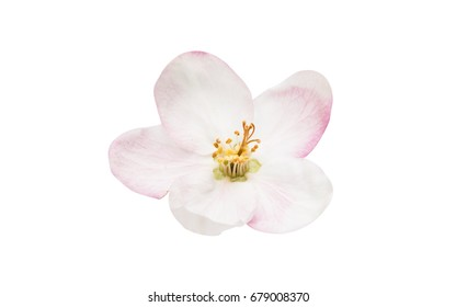Apple tree flower isolated on white background