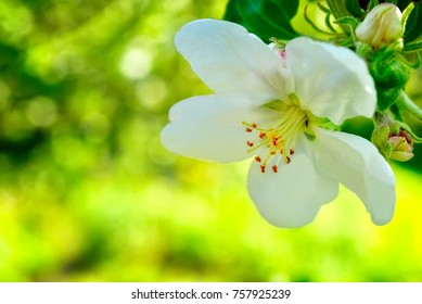 Apple tree flower on a green background